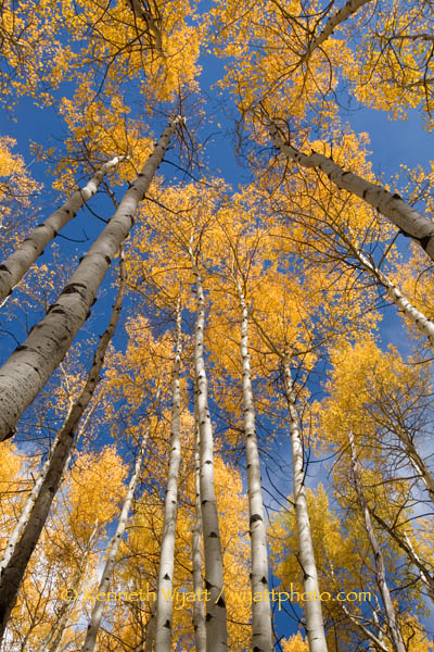 aspen, tree, forest, fall, fall color, gold, Colorado photo