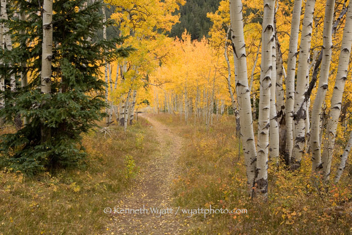 aspen, forest, trail, Aspen, Colorado, fall, fall color photo