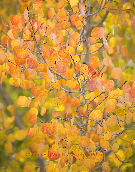 fall color, fall, aspen, trees, Colorado, forest photo