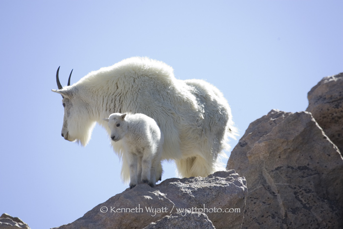 mountain goat, goat, Mt. Evans, Denver, Colorado photo