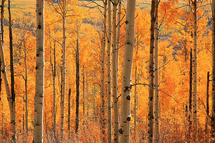 aspen, Gunnison, trees, forest, gold, fall, Colorado photo