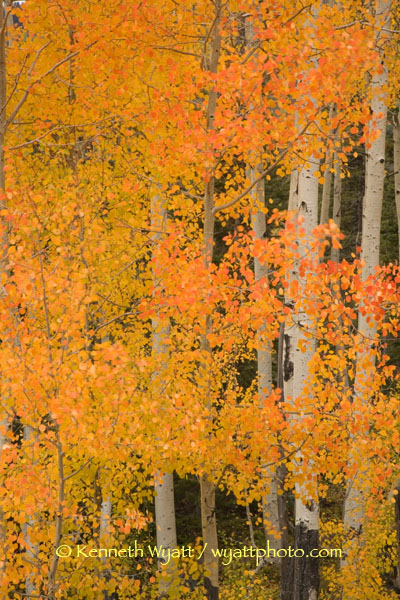 aspen, tree, fall, fall color, Colorado, San Juan photo