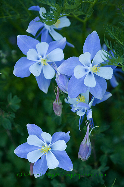 columbine, flower, wildflower, Colorado, San Juan Mountains photo