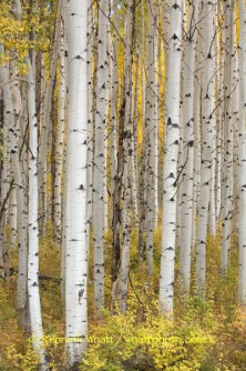 aspen, tree, trees, gold, fall, fall color, Colorado