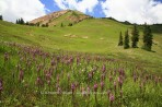 flowers, wildflowers, Crested Butte, Colorado, meadow, alpin