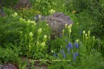 rock, flower, wildflower, mountain, valley, lupine, paintbru