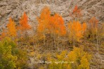 fall color, Colorado, Cottonwood Canyon, red, trees