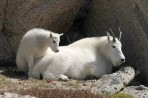 mountain goat, goat, mountain, Denver, Colorado