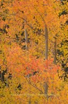 aspen, trees, tree, fall, fall, color, Colorado, San Juan